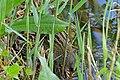 Spotted Crake (Porzana porzana) (26516657806).jpg