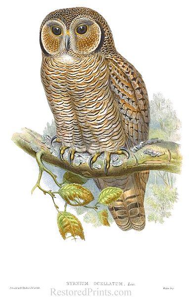 File:Spotted Wood Owl - Syrnium ocelatum - John Gould - Birds of Europe - Henry Constantine Richter.jpg