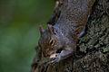 Squirrel (14921549262).jpg