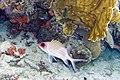 Squirrelfish Holocentrus adscensionis (4676845258).jpg