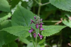 Stachys-sylvatica-flowers.JPG