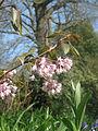 Staphylea holocarpa rosea (17253221505).jpg