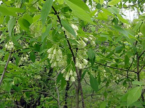 Description de l'image Staphylea trifolia SCA-3463.jpg.