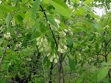 Staphylea trifolia SCA-3463.jpg