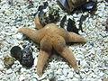 Starfish, World Museum Liverpool.jpg