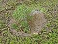 Starr-020127-0038-Myoporum sandwicense-Wedelia cut away-Keopuolani dune-Maui (23918239924).jpg