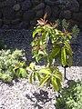 Starr-040318-0070-Syzygium malaccense-habit-Maui Nui Botanical Garden-Maui (24072802883).jpg