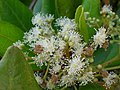 Starr-050516-1367-Pimenta dioica-flowers-Maunaloa-Molokai (24762757525).jpg