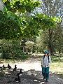 Starr-080531-4874-Terminalia catappa-habit with Kim and Laysan albatross-Halsey Dr around residences Sand Island-Midway Atoll (24543288919).jpg