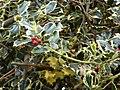 Starr-090514-7862-Ilex aquifolium-variegated leaves and fruit-Kula-Maui (24659825440).jpg