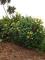 Starr-090518-7952-Tithonia diversifolia-flowering habit-Omaopio-Maui (24862171361).jpg