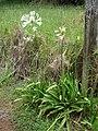 Starr-090520-8200-Agapanthus praecox subsp orientalis-white flowers-Keokea-Maui (24929705206).jpg