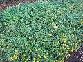 Starr-090730-3437-Lantana montevidensis-flowering habit-Honolulu Airport-Oahu (24340158484).jpg