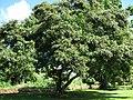Starr-091104-0875-Vitex parviflora-plant tag-Kahanu Gardens NTBG Kaeleku Hana-Maui (24360899083).jpg