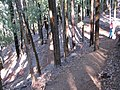 Starr-091127-1511-Eucalyptus sp-sideroxylon perhaps habit with Forest on trail-Olinda-Maui (24360453854).jpg