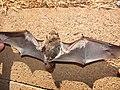 Starr-100907-9073-Eucalyptus sp-habitat with Hawaiian hoary bat Lasiurus cinereus semotus-Olinda-Maui (25025066046).jpg