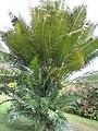 Starr-110330-3708-Cycas circinalis-habit-Garden of Eden Keanae-Maui (24449990254).jpg