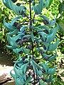 Starr-120301-3498-Strongylodon macrobotrys-flowers-Enchanting Floral Gardens of Kula-Maui (25044120651).jpg