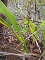 Starr-120425-4821-Dianella sandwicensis-form multipedicellata-Waikapu Valley-Maui (25139738755).jpg