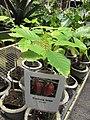 Starr-120522-6571-Theobroma cacao-in pots-Iao Tropical Gardens of Maui-Maui (24517087713).jpg