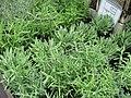Starr-120613-9674-Lavandula dentata-assorted varieties-Lowes Nursery Kahului-Maui (25027266722).jpg