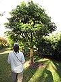 Starr-121108-0799-Pachira aquatica-habit with Kim-Pali o Waipio-Maui (24565637284).jpg
