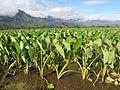 Starr-130322-3757-Colocasia esculenta-habit-Hanalei NWR-Kauai (25091397512).jpg