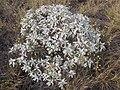 Starr-130422-4284-Encelia farinosa-habit-Kahului-Maui (24579800224).jpg