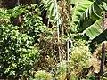 Starr-130719-0043-Solanum lycopersicum-fruiting habit-Hawea Pl Olinda-Maui (25127744841).jpg