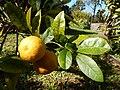 Starr-150112-3408-Citrus limonia-fruit and leaves-Hawea Pl Olinda-Maui (24633826574).jpg
