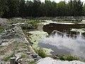 Starr-150331-1040-Cyperus polystachyos-Laysan Ducks and Albatrosses-Brackish Pond Sand Island-Midway Atoll (24904146909).jpg