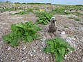 Starr-150403-0147-Brassica juncea-habit with Laysan Albatrosses-Southeast Eastern Island-Midway Atoll (24908021909).jpg