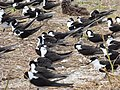 Starr-150403-0286-Brassica juncea-Sooty Terns settling down-Southeast Eastern Island-Midway Atoll (25276107705).jpg