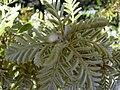 Starr 030603-0041 Sophora chrysophylla.jpg