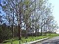 Starr 040209-0020 Eucalyptus deglupta.jpg