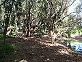 Starr 050218-4080 Casuarina equisetifolia.jpg