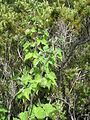 Starr 050815-3418 Physalis peruviana.jpg