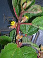 Starr 060305-6552 Waltheria indica.jpg