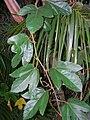 Starr 060905-8728 Passiflora vitifolia.jpg