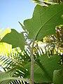 Starr 070215-4474 Solanum torvum.jpg