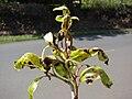 Starr 070328-6170 Syzygium cumini.jpg