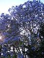 Starr 070525-7165 Jacaranda mimosifolia.jpg