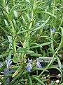 Starr 070906-8837 Rosmarinus officinalis.jpg