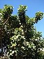 Starr 071024-9937 Erythrina sp..jpg