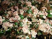 Starr 080117-2218 Pilea microphylla