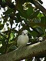 Starr 080608-7654 Ficus macrophylla.jpg