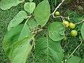 Starr 080610-8297 Solanum torvum.jpg