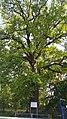 Stejar pedunculat 01.jpg