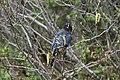 Stellers Jay (Cyanocitta Stelleri) (9360453600).jpg