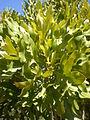 Stenocarpus sinuatus 2c.JPG